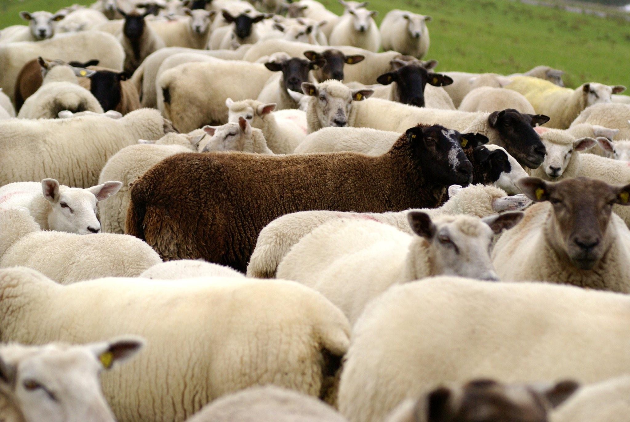 Schafherde Herdentrieb Schwarzes Schaf